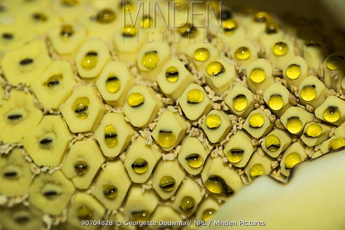 Cheese plant or Mexican bread plant.  (Monstera deliciosa) close up of spadix.