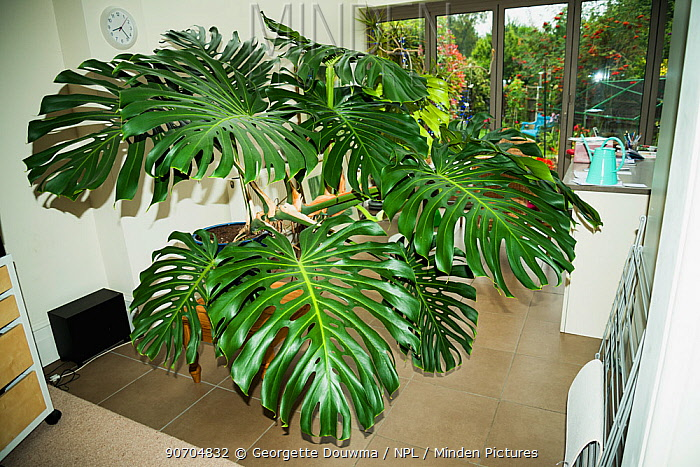 Cheese plant or Mexican bread plant.  (Monstera deliciosa)  in house.