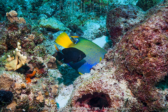 Queen angelfish (Holocanthus ciliaris) feeding on sponge, whilst a Dusky damselfish (Stegastes adustus), a very territorial fish, tries to chase it away.  Bonaire, Netherlands Antilles, Caribbean, Atlantic Ocean.