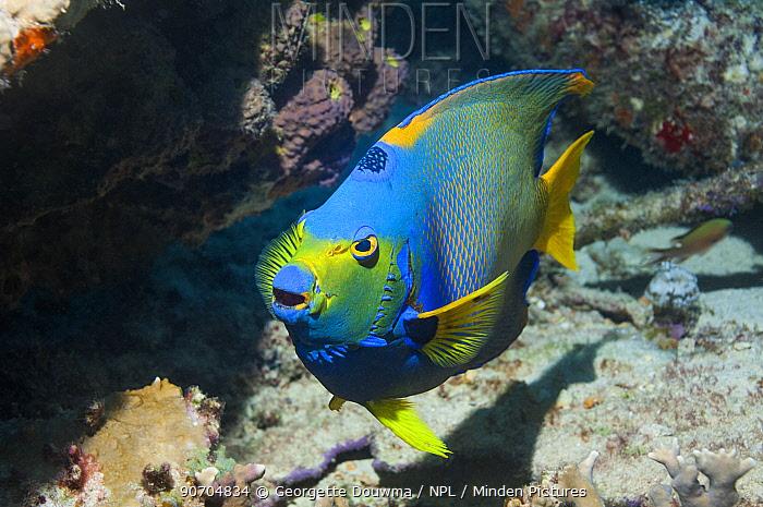 Queen angelfish (Holocanthus ciliaris) with mouth open,  Bonaire, Netherlands Antilles, Caribbean, Atlantic Ocean.