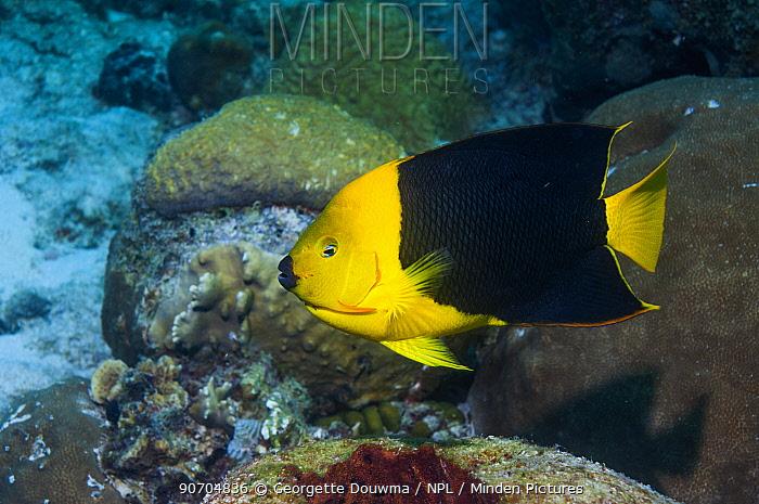 Rocky beauty (Holacanthus tricolor) profile Bonaire, Netherlands Antilles, Caribbean, Atlantic Ocean.