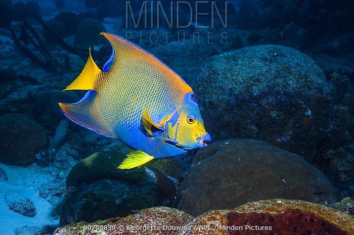 Queen angelfish (Holocanthus ciliaris) profile, Bonaire, Netherlands Antilles, Caribbean, Atlantic Ocean.