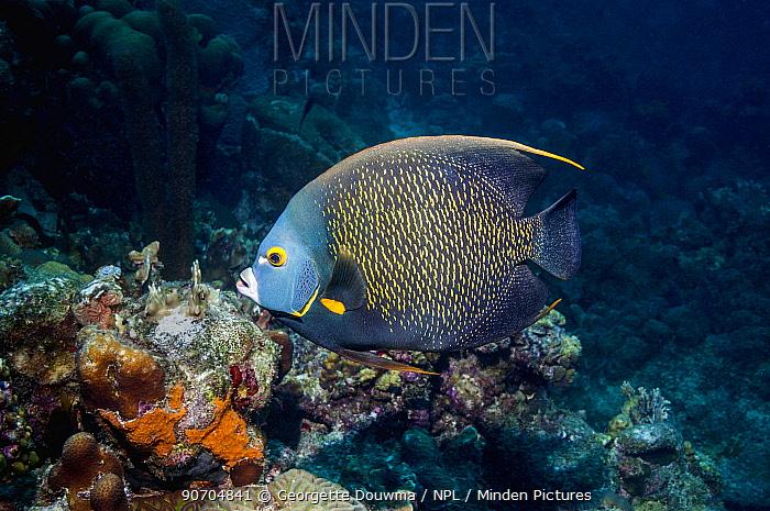 French angelfish (Pomacanthus paru) in coral reef,  Bonaire, Netherlands Antilles, Caribbean, Atlantic Ocean.
