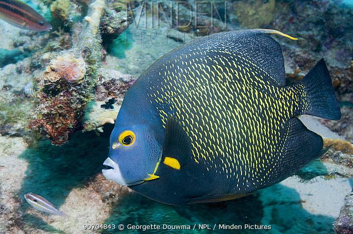 French angelfish (Pomacanthus paru) profile.  Bonaire, Netherlands Antilles, Caribbean, Atlantic Ocean.