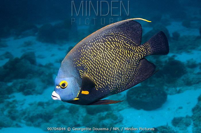French angelfish (Pomacanthus paru) profile,  Bonaire, Netherlands Antilles, Caribbean, Atlantic Ocean.
