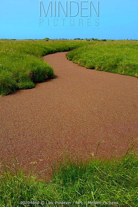 Canals through Breton Marsh, with Duckweed (Lemnoideae) Vendee, France, May.
