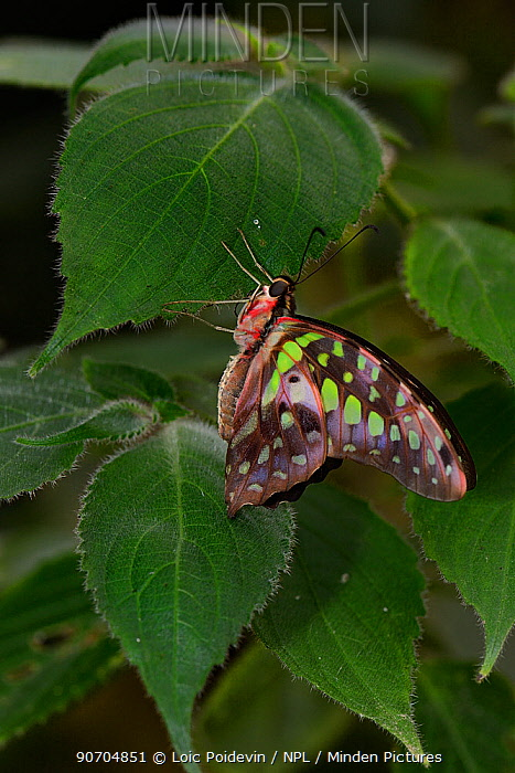 Tailed jay butterfly (Graphium agamemnon) captive, occurs in Asia.