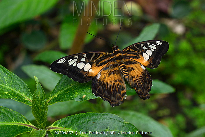Clipper butterfly (Parthenos sylvia) captive occurs in Asia.