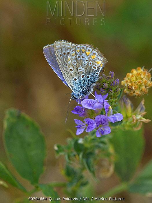Common blue (Polyommatus icarus) on alfalfa flowers, Vendee, France, July.