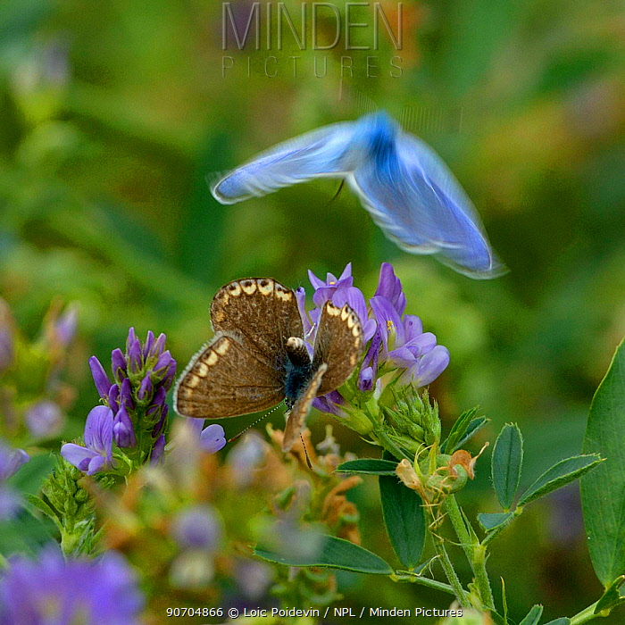 Common blue (Polyommatus icarus) male in flight and female on Alfalfa flowers, Vendee, France. July.