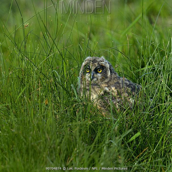 Short eared owl (Asio flammeus) fledgling in grass. Breton Marsh, Vendee, France, May.
