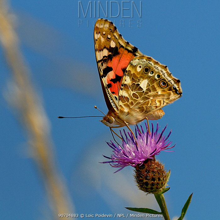 Painted lady butterfly (Vanessa cardui) on Knapweed flower, Vendee, France, August.