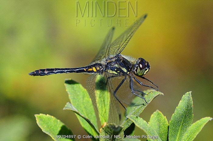 Black darter dragonfly (Sympetrum danae) male at rest. Dorset, UK August.