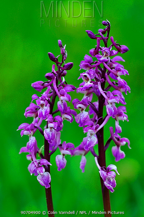 Early purple orchids (Orchis mascula) in flower. Somerset, UK April.