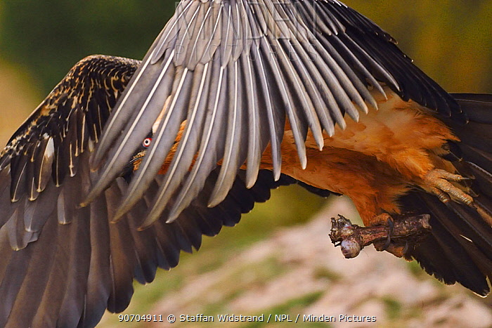 Lammergeier or Bearded vulture, adult, Gypaetus barbatus, at feeding site and wildlife watching site, images taken from a hide. Pre-Pyrenees, Catalonia, Spain