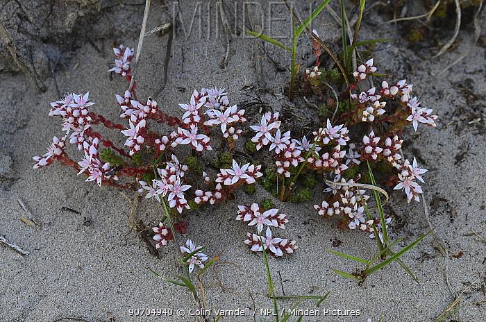 English stonecrop (Sedum anglicum) flowering in sand dunes. Dorset, England, UK, June.