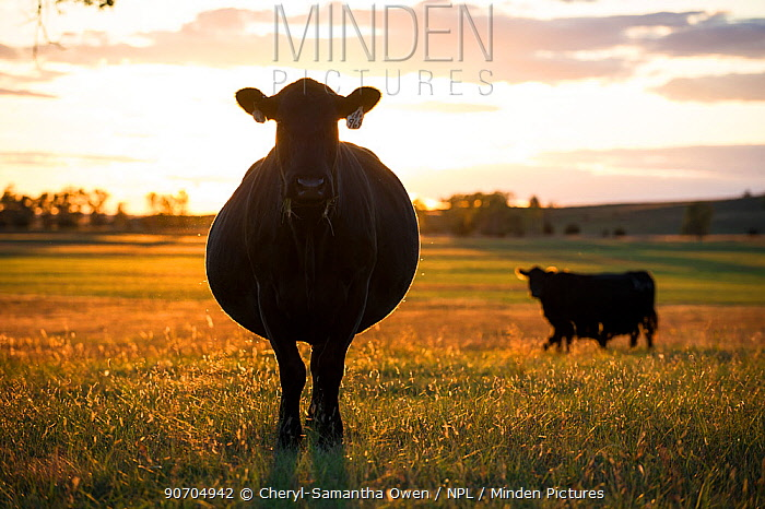 Cow silhouetted at sunset, on cattle ranch, Garfield County, Nebraska, USA. October.