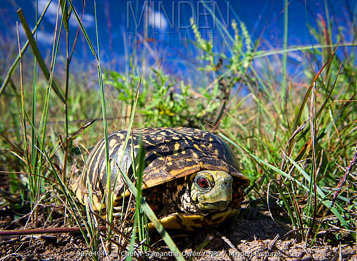 Ornate box turtle (Terrapene ornata ornata) in the sandhills, Garfield County, Nebraska, USA. October.