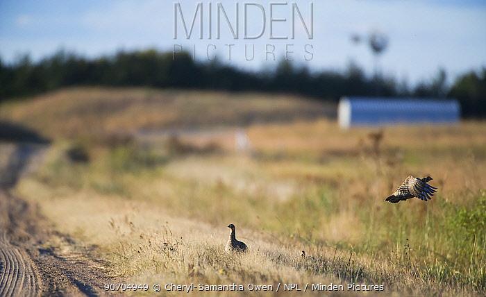 Greater prairie chickens (Tympanuchus cupido) Bob Price's Ranch, Garfield County, Nebraska, USA, October.