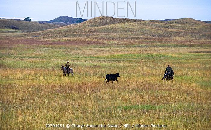 Switzer family herding cattle on horsesback on their ranch, Calamus Outfitters. Nebraska, USA, October 2014.