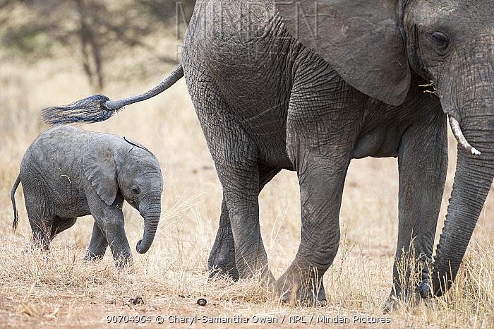 African elephant (Loxodonta africana) and calf, Tarangire National Park, Tanzania.