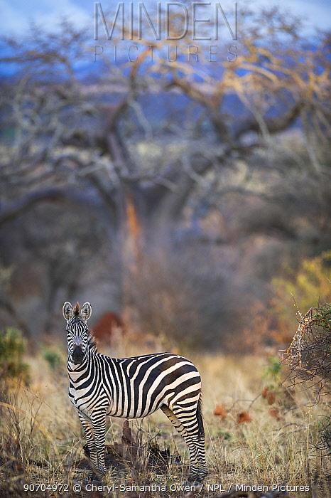Common or plains zebra (Equus quagga burchelli) grazing in bushTarangire National Park, Northern Tanzania.
