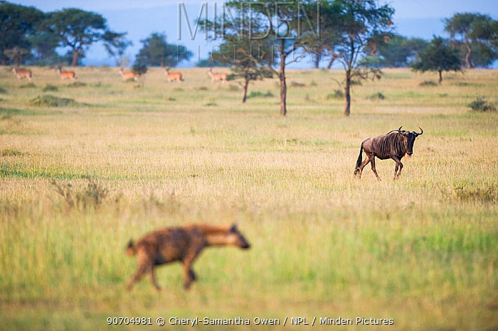 Spotted hyena (Crocuta crocuta) walking in the foreground, watched by Common wildebeest (Connochaetes taurinus)  with Common eland (Tragelaphus oryx) walking in a line in the background. Grumeti Reserve, Northern Tanzania.