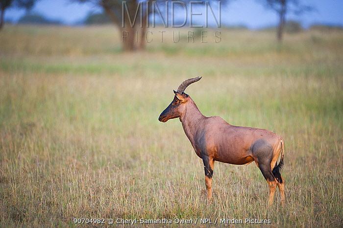 Topi (Damaliscus lunatus jimela) standing alert, Grumeti Reserve, Northern Tanzania.