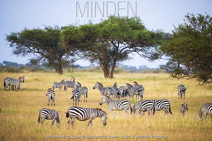 Herd of Burchell's zebtra (Equus quagga burchelli), Grumeti Reserve, Northern Tanzania.