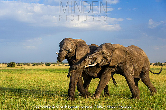 African elephant (Loxodonta africana) bulls playing and testing each others strength. Grumeti Reserve, Northern Tanzania.