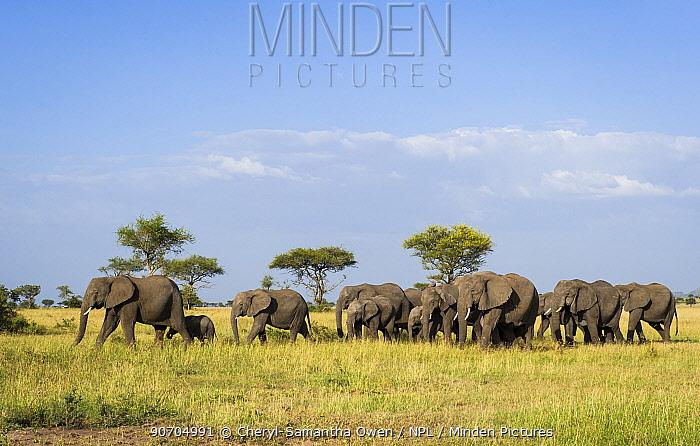 Herd of African elephant (Loxodonta africana), Grumeti Reserve, Northern Tanzania.
