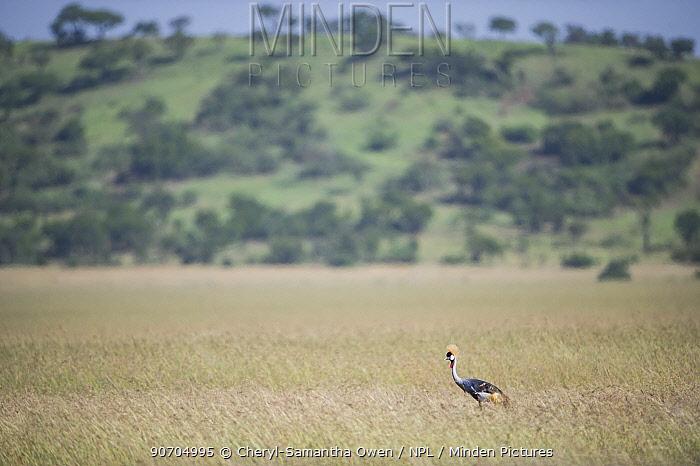 Grey crowned crane (Balearica regulorum gibbericeps) walking in long grass, Grumeti Reserve, Northern Tanzania.
