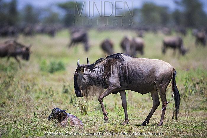 Wildebeest (Connochaetes taurinus) mother with new born calf.  Serengeti National Park, Tanzania.