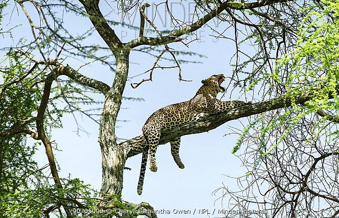 Leopard (Panthera pardus) male resting on branch of  Acacia tree. Serengeti National Park, Tanzania.