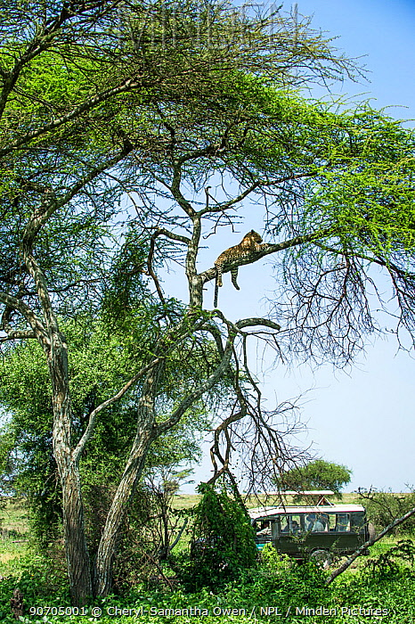 Leopard (Panthera pardus) male resting on branch of  Acacia tree with  people in  jeep watching, Serengeti National Park, Tanzania.