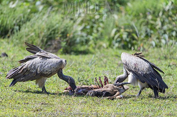 Ruppell's griffon vultures (Gyps rueppellii rueppellii) feeding on a carcass. Serengeti National Park, Tanzania. Endangered species.
