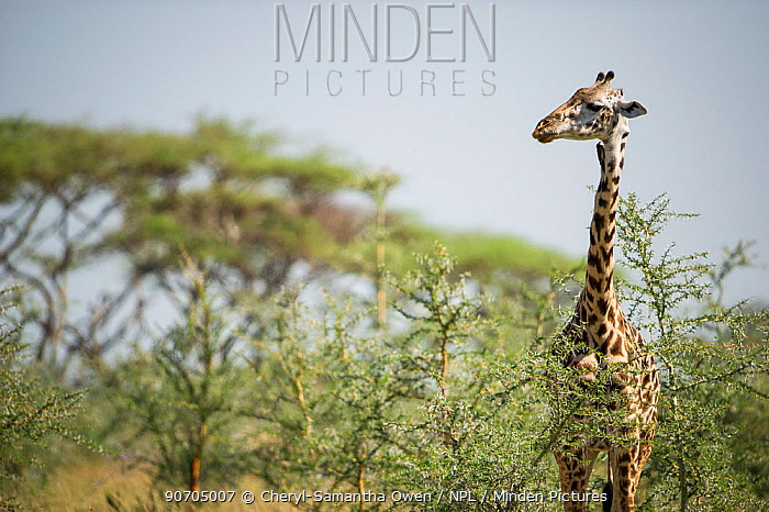 Masai giraffe  (Giraffa camelopardalis tippelskirchi)  Grumeti Reserve, Northern Tanzania.