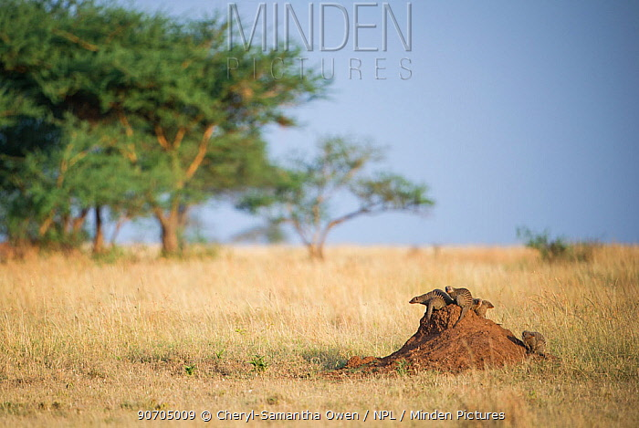 Banded mongoose (Mungos mungo) sitting on the top of a termite mound alert, Grumeti Reserve, Northern Tanzania.