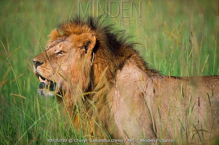 Male African Lion (Panthera leo) walks through the tall, thick grass. Grumeti Reserve, Northern Tanzania.