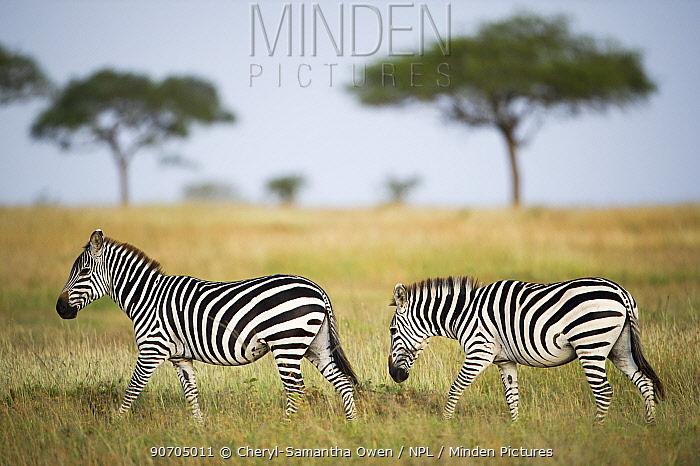 Two Burchell's zebras (Equus quagga burchelli), Grumeti Reserve, Northern Tanzania.