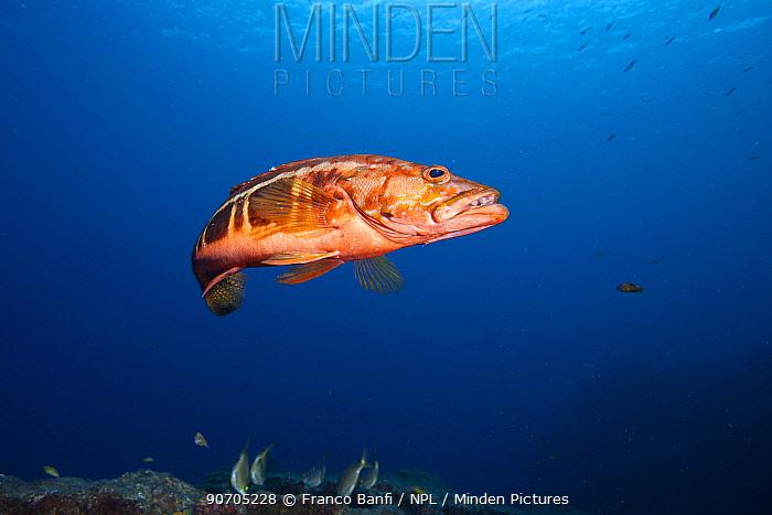 Scuba diver with Blacktail comber (Serranus atricauda), Santa Maria Island, Azores, Portugal, Atlantic Ocean