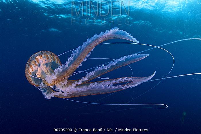 Purple stinger jellyfish (Pelagia noctiluca) Santa Santa Maria Island, Azores, Portugal, Atlantic Ocean.