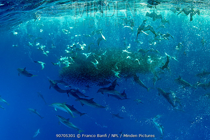 Cory's shearwaters (Calonectris diomedea)  diving among a mass of shoaling fish to feed, along with Atlantic spotted dolphins (Stenella frontalis), Formigas Islet dive site, Azores, Portugal, Atlantic Ocean