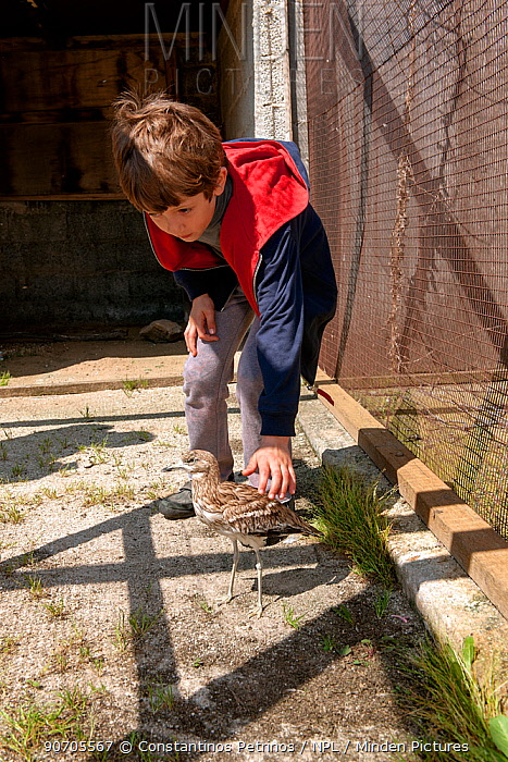 Young boy stroking blind Eurasian stone curlew  (Burhinus oedicnemus) the bird was shot illegally, is blind and unable to feed, so is cared for in captivity. The Aegean Wildlife Hospital, Paros Island, Cyclades, Aegean Sea, Mediterranean, Greece. October 2014 Model released.