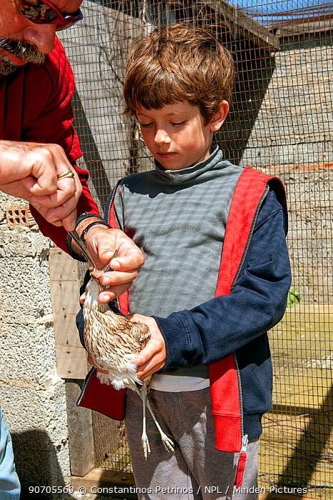 Young boy holding blind Eurasian stone curlew  (Burhinus oedicnemus) whilst founder and director of the Aegean Wildlife Hospital, Mr. Marios Fournaris, feeds  it. The bird was shot illegally, is blind and unable to feed. The Aegean Wildlife Hospital, Paros Island, Cyclades, Aegean Sea, Mediterranean, Greece. October 2014 Model released.