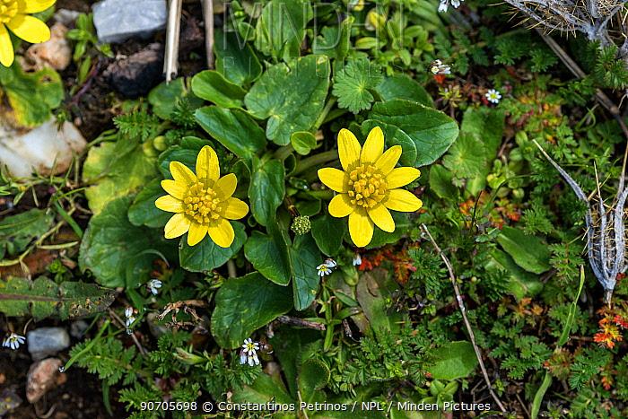 Lesser celandine (Ranunculus ficaria) flowers, Mount Parnitha, Attica, Greece, March.