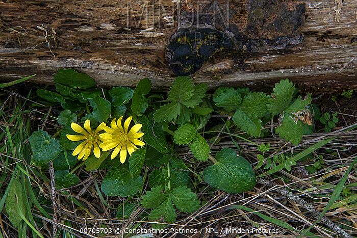 Lesser celandine (Ranunculus ficaria) Mount Parnitha,  Attica, Greece, March.