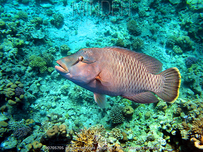 Giant wrasse (Cheilinus undulatus) Sharm el Sheikh, Red Sea, Egypt, October.