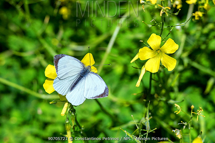 Large white butterfly (Pieris brassicae) on Bermuda buttercup (Oxalis pes-caprae) Syngrou Forest, Athens,  Athens, Greece, Mediterranean, March 2015.