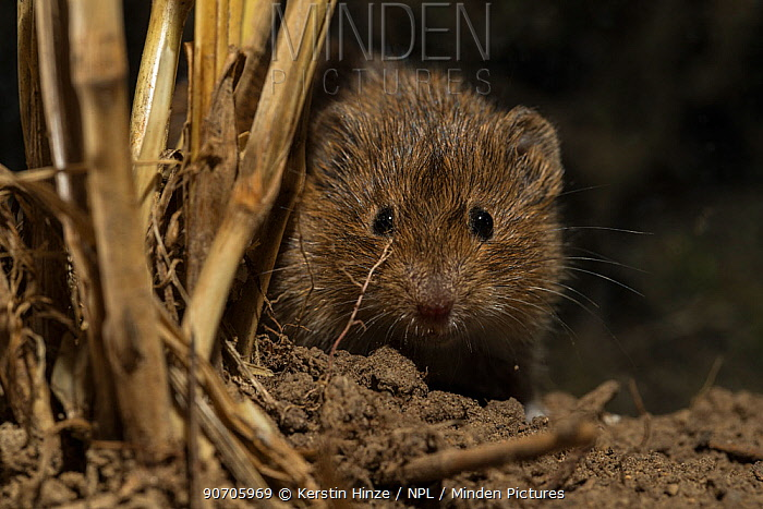Common vole (Microtus arvalis) in field stubble, Lower Saxony, Germany, captive.